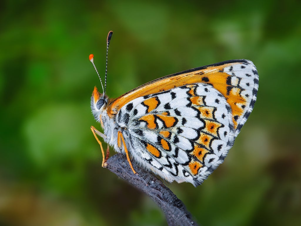 how-scientists-accidentally-released-butterflies-infected-by-parasitic-wasps-carrying-smaller-parasitic-wasps