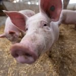 government-to-allow-more-foreign-butchers-in-to-prevent-pig-cull