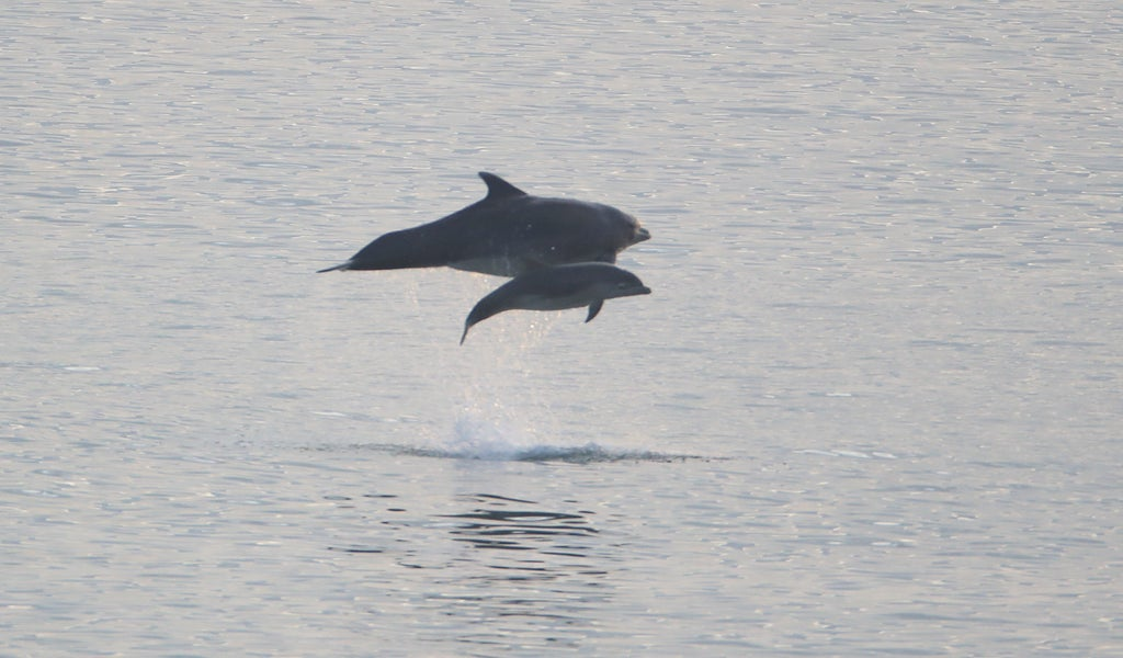 dolphins-living-off-coast-of-wales-have-developed-own-'welsh-accent'